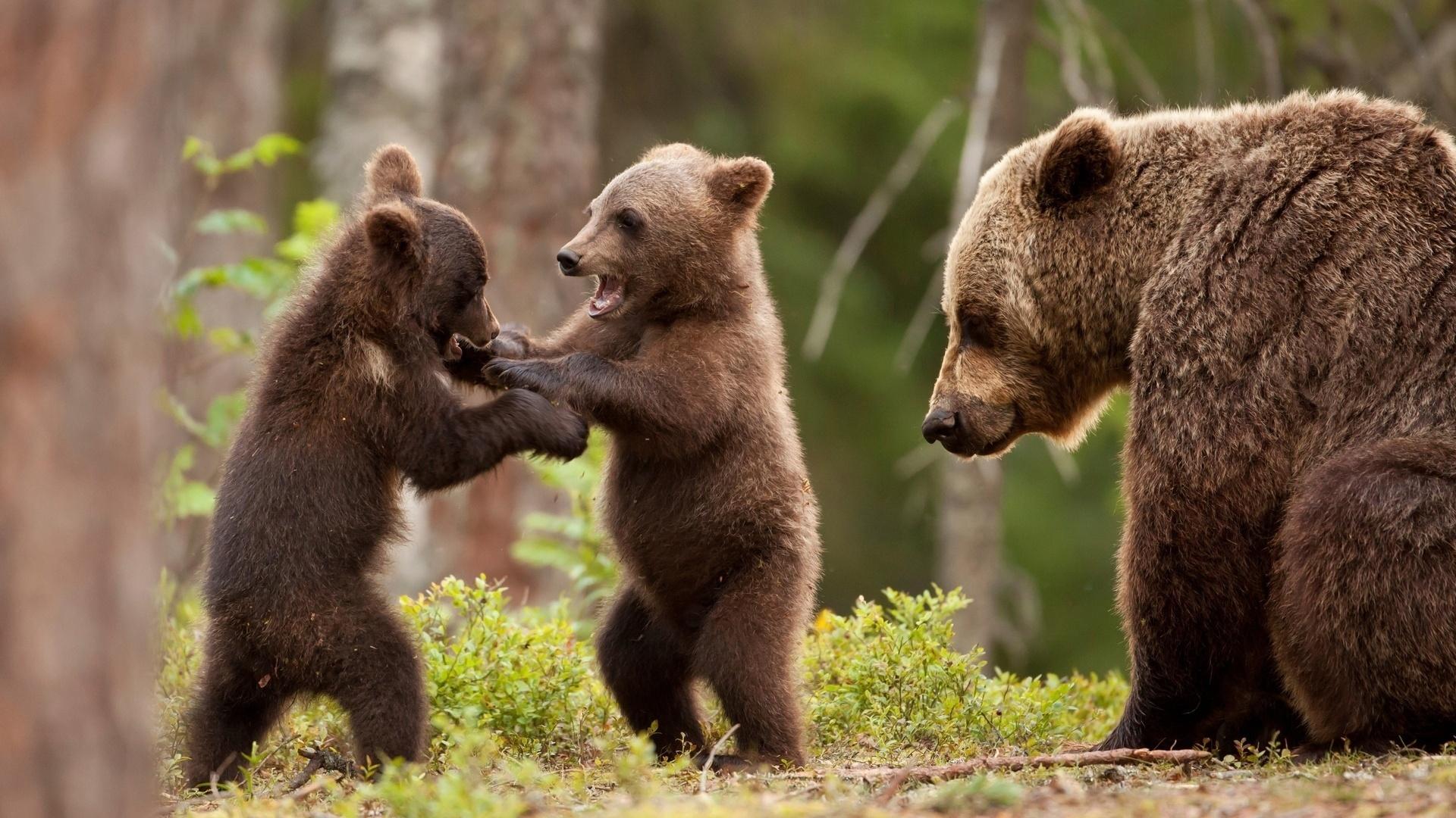 Череповецкие cотрудники экстренных служб помогли женщине, встретившей влесу медведей