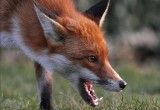 В Вологодском районе зафиксирован случай нападения бешеного животного на человека