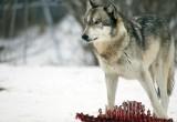Огромный волк «терроризировал» жителей Красавино, расхаживая по улицам города