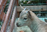 Двое карликовых козлят появились в Ботаническом саду в Вологде