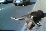 В Верховажском районе автомобиль сбил лося