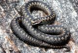 Пожилую женщину укусила змея, пострадавшая выжила