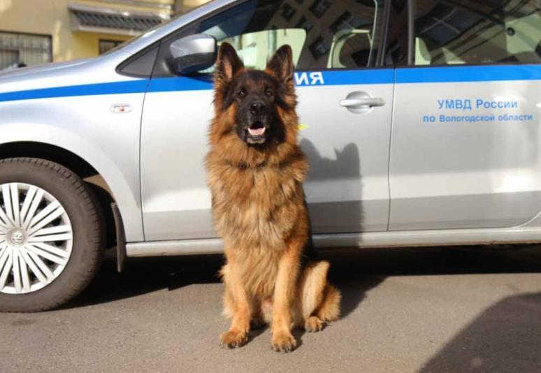 Служебная собака помогла вернуть вологжанке 40 тысяч рублей