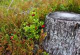 Несмотря на похолодание, леса не отпускают ягодников и грибников