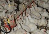 Птицефабрике в Шексне грозит отключение газа за 100-миллионный долг