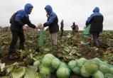 Сборщики капусты на полях Майского – не преступники