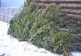 В акции «Дельный круговорот» вологжанам предлагают сдать на переработку новогодние ели