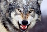 Сотню собак загрызли волки в Вытегорском районе (ВИДЕО)