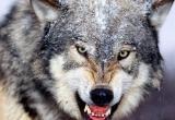 Волк-убийца не ушел от облавы в Вожегодском районе
