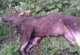 Убитую лосиху и умерших от голода лосят обнаружили в Вологодской области: Браконьер в розыске