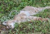 Умирающую рысь спасти не удалось: животное погубили паразиты (ФОТО)