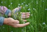 Вологодская область сократила посевы льна, хотя планировала их увеличить