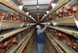 Вологодские птицеводы из Ермаково переложили из одного карман в другой 69,8 млн рублей