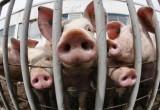 Африканская чума свиней и птичий грипп все ближе к Вологодской области