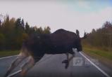 Огромный лось едва не стал причиной ДТП в Череповецком районе (ВИДЕО)