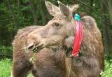 Сохатый турист: Лосиха из Костромской области пришла на прогулку на Вологодчину
