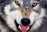 Волки начали охоту за собаками в Вологодской области