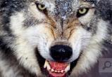 Волки продолжают охоту за собаками в Вологодской области: еще одна жертва