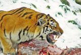 На тебе, боже, что нам негоже: Тигрица – людоед будет жить в зоопарке Великого Устюга