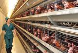 В магазины Вологодской области начала поступать продукция Шекснинской птицефабрики