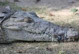 На похороны доброго крокодила пришли 500 человек: Гангарама индийцы любили больше, чем русские крокодила Гену