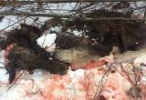 На Вологодчине браконьеры убили и разделали беременную лосиху