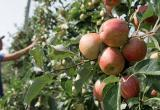 Яблочки раздора: зачем России фруктовая война с Белоруссией