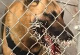 Полицейский пес гнался за преступником. Но встретил дикобраза, получив 200 игл в морду