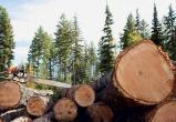 Использовал власть не по назначению. Главу сельского поселения области осудят за вырубку сосны на 35.7 млн рублей