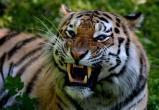 В Вологодской области провели спарринг человека и тигра