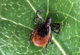Врачи предупреждают: клещи могут стать переносчиками еще одной опасной болезни