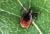 Клещи в засаде. 306 жителей Вологодчины на прошлой неделе атаковали паразиты