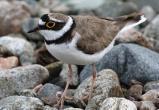 Вологодский орнитолог снял редкое видео, как малый зуек на берегу реки высиживает детей (ВИДЕО)