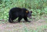 Спасенных медвежат после реабилитации выпустили в родной вологодский лес