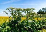 Борщевику бой: на уничтожение опасного растения планируют тратить 100 миллионов рублей ежегодно
