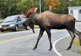 Вологодские дороги защитят от лосей сетками