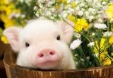 «Свинство» свинофермы в Вологодской области проверят специалисты