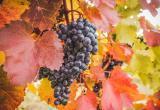 Виноград защитит от стресса, онкологии и сердечных приступов