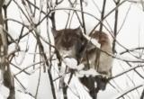 Необычная кошка разгуливает по Тотьме