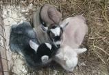 В Ботаническом саду у камерунской козы Айны родились трое малышей